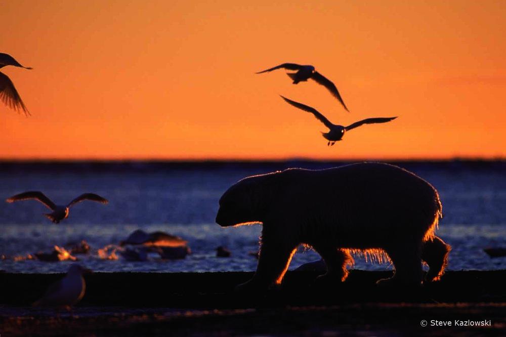 Polar Bear Gulls_Steve Kazlowski_WEB.jpg