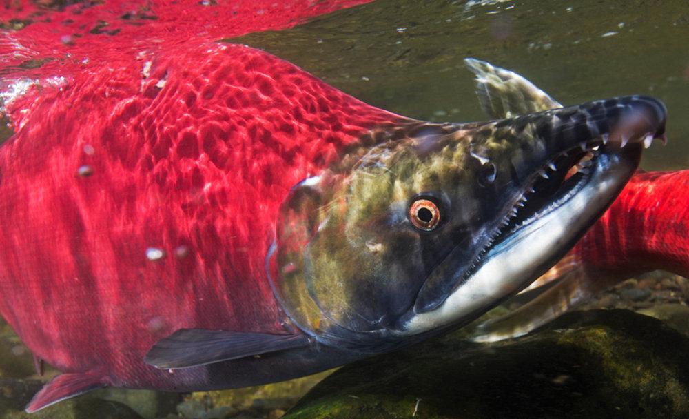 The Salmon Way - Amy Gulick