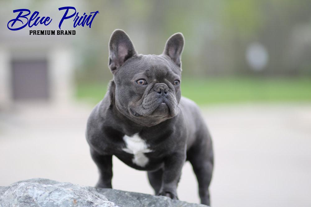 Blueprint premium brand french bulldogs blue french bulldog malvernweather Images