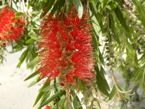 Red bottlebrush flowers outside a house in Ankawa (Photo credit: Beth Kangas, 2013)
