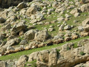Sheep grazing, on the road from Erbil to Gelly Ali Beg Waterfall in Northern Iraq (Photo credit: Beth Kangas, 2013)