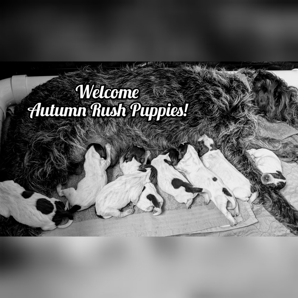 """Autumn Rush """"Famke"""" VD Wielervelden & Igor VD Weilervelden's Litter  Born April 25th, 2019  Please submit your application or get in touch for more information!"""