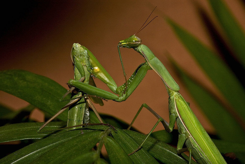 Sexual cannibalism in  Mantis religiosa . By Oliver Koemmerling [ GFDL  or  CC-BY-SA-3.0 ],  via Wikimedia Commons .
