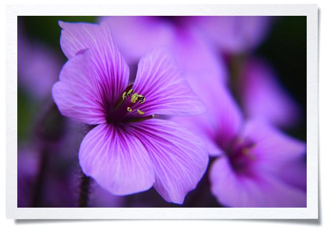 Frame-Purple-Flower.jpg
