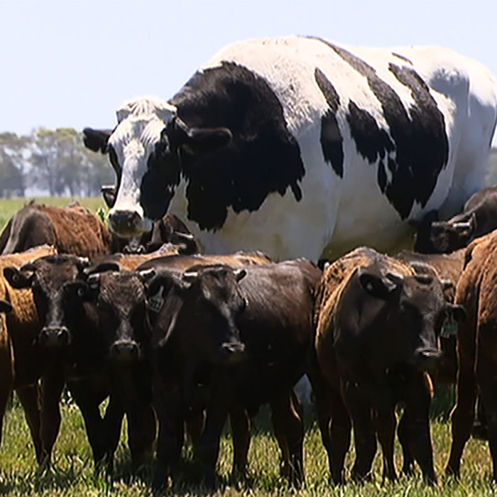 27-knickers-giant-steer.w700.h700.jpg