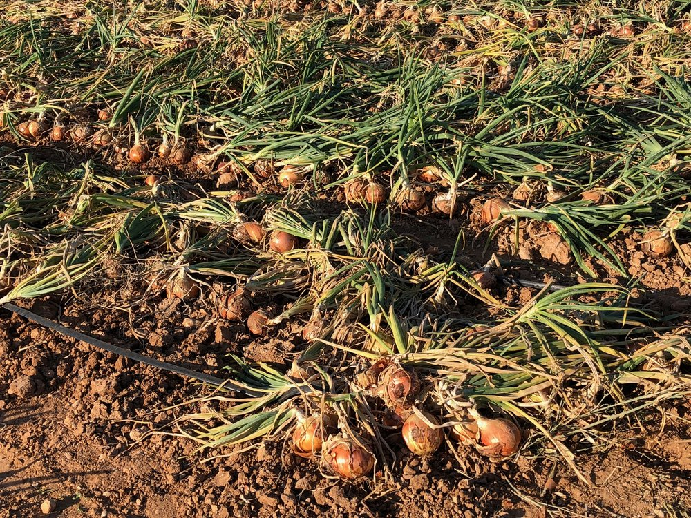ONIONS SEEM TO BE THE MAIN CROP HERE