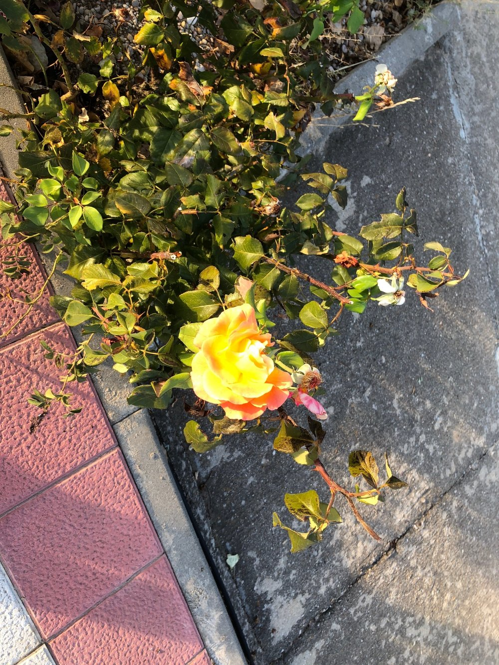 Copy of En route, a rose from St. Therese on her feast today.
