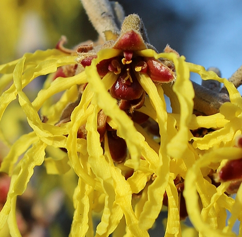 Wild Witch Hazel