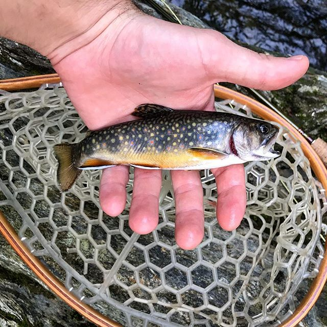 "🐟 ""Put me back!"" • #brooktrout #flyfishing #sorrylittleguy"