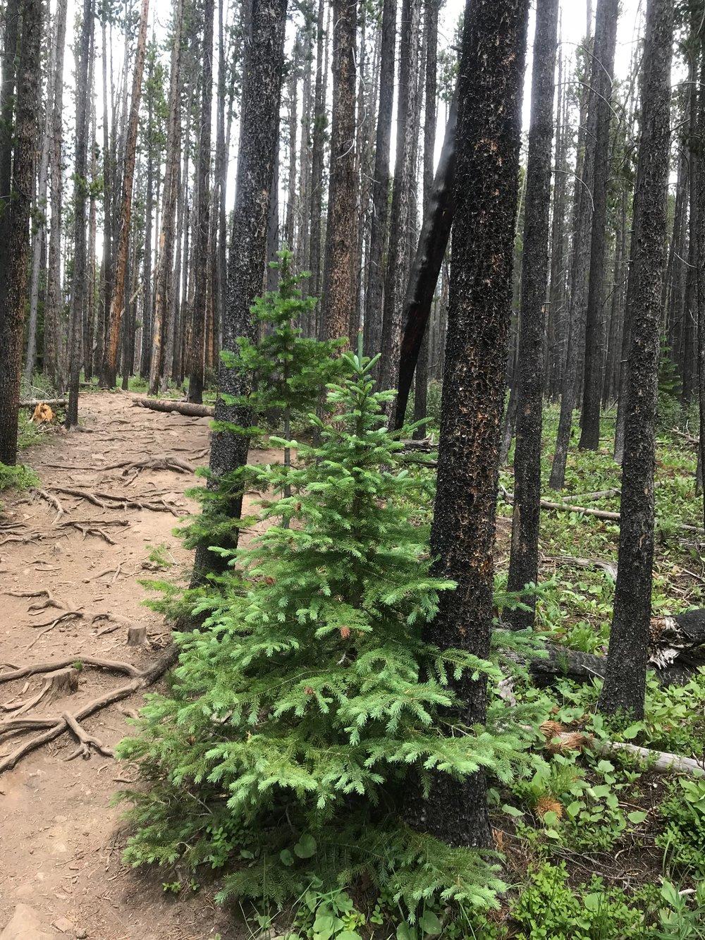 MG Blog - Pine Trees.JPG