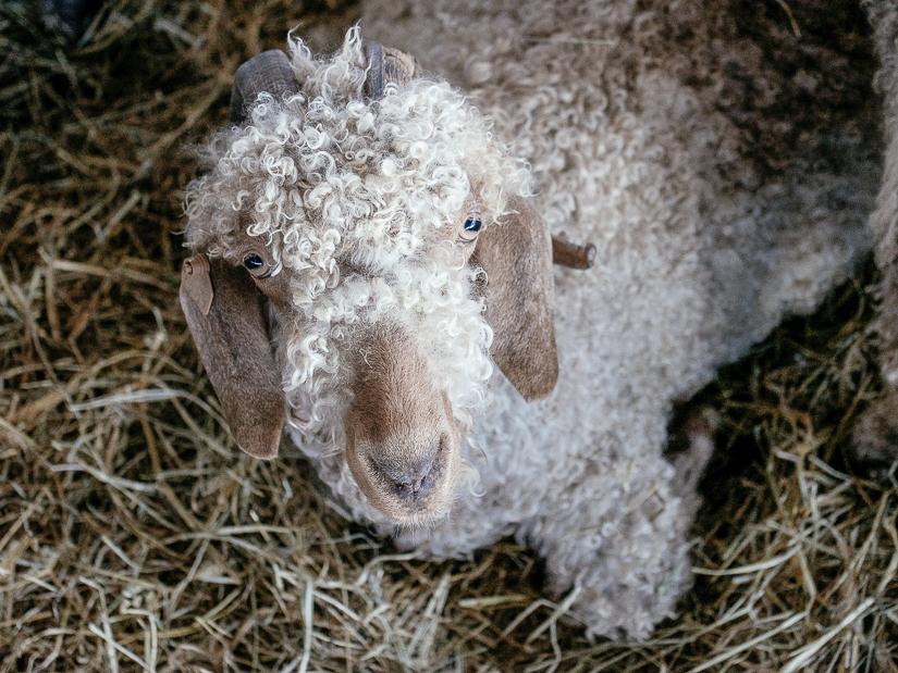 sheepwool1.jpg