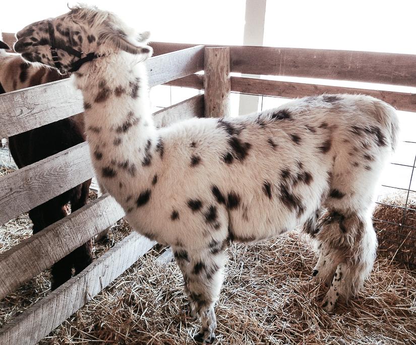 sheepwool4.jpg