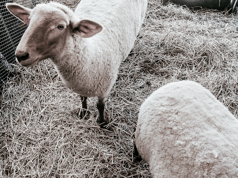 sheepwool61.jpg