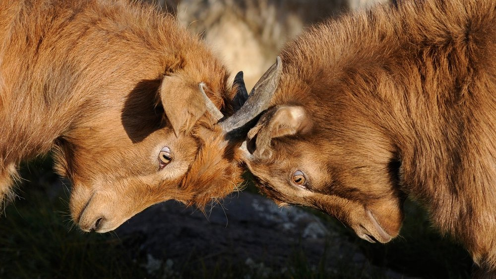 goats-competition-dispute.jpg