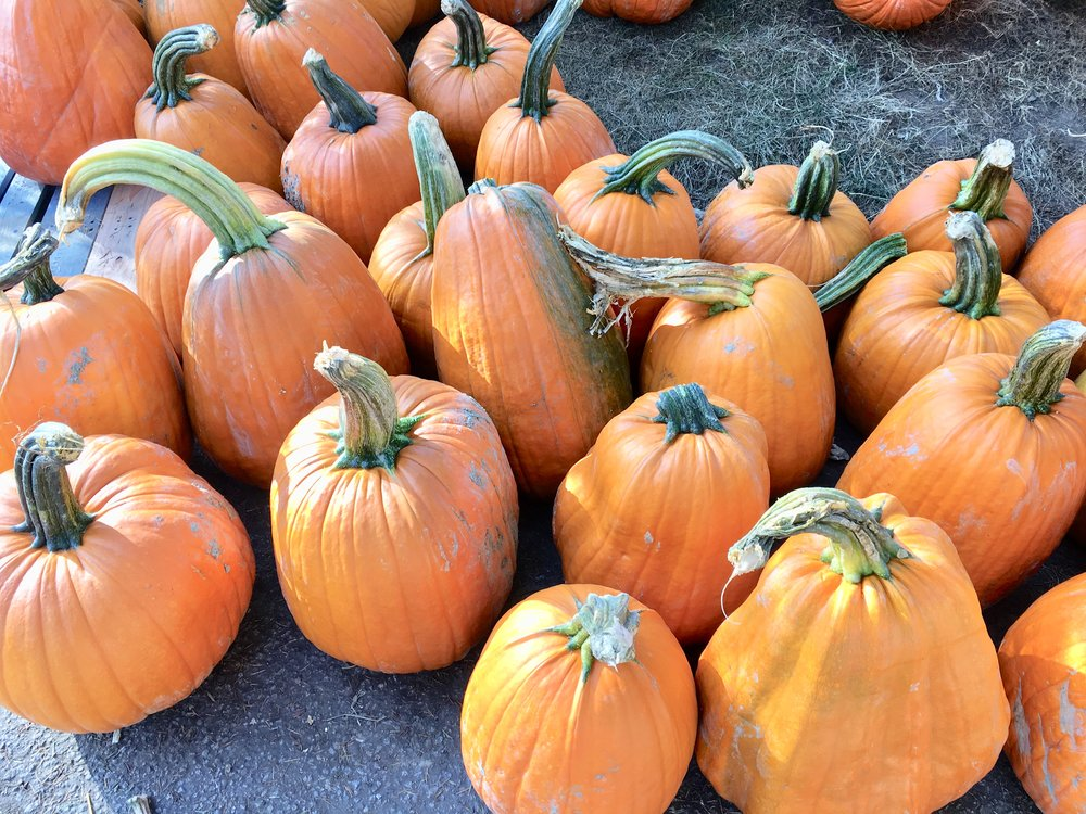 Large pumpkins at Richmond Country Farms