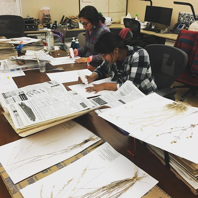 Mounting vouchers from our friends in Arizona! @agavemaria #nativeplants #botany #herbarium