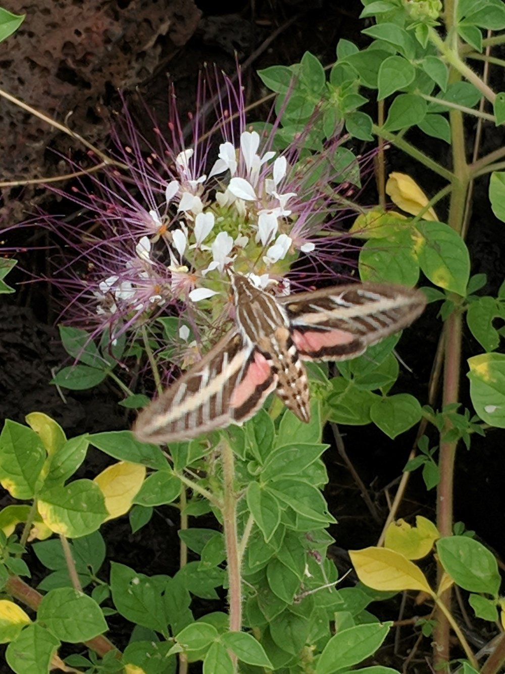 A White-lined Sphynx Moth nectars on a Polanisia dodecandra flower (Redwhisker clammyweed)