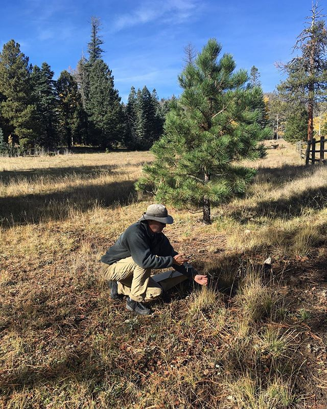Volunteer Jim Norton helping collect Mountain Muhly (Muhlenbergia montana) at Bandelier National Monument. . . . . . #volunteer #volunteering #plantid #plantidentification #newmexico #newmexiconativeplants #nativeplants #nativeplant #mountainmuhly #muhlenbergia #poaceae #botany #bandelier #bandeliernationalmonument #nationalmonument #nationalpark #nps