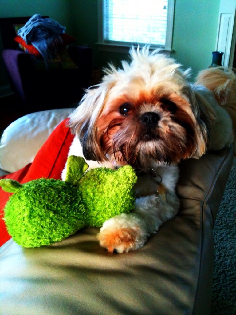 Lucy Love, Shih Tzu, puppy