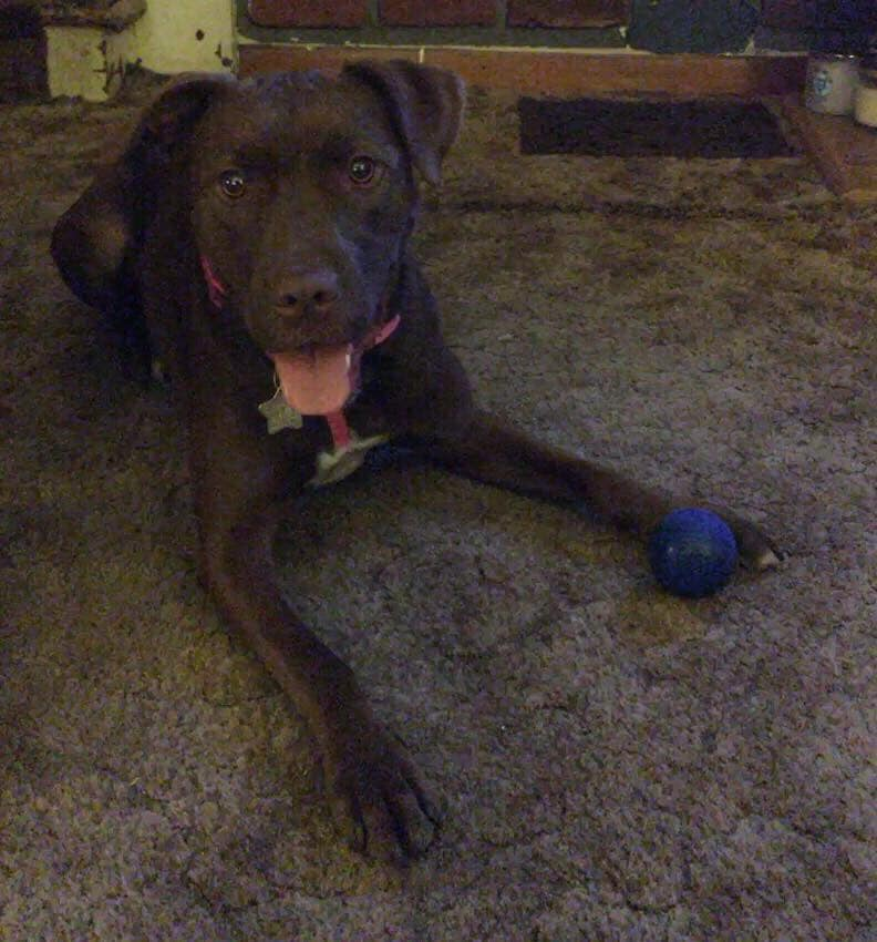 Josie has shredded nearly every toy she's owned.  Her K9x Ball is now over a year old!