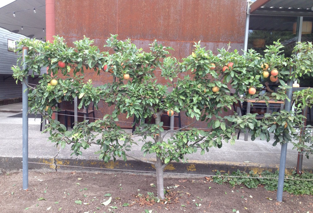 Espalier Apple: After Pruning