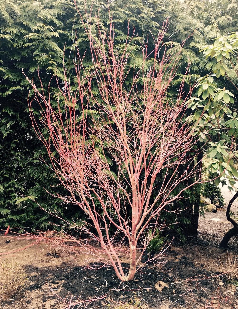 Maple: Before Pruning
