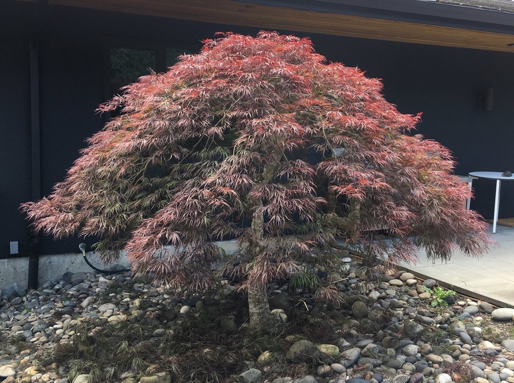 Japanese Maple: After Pruning