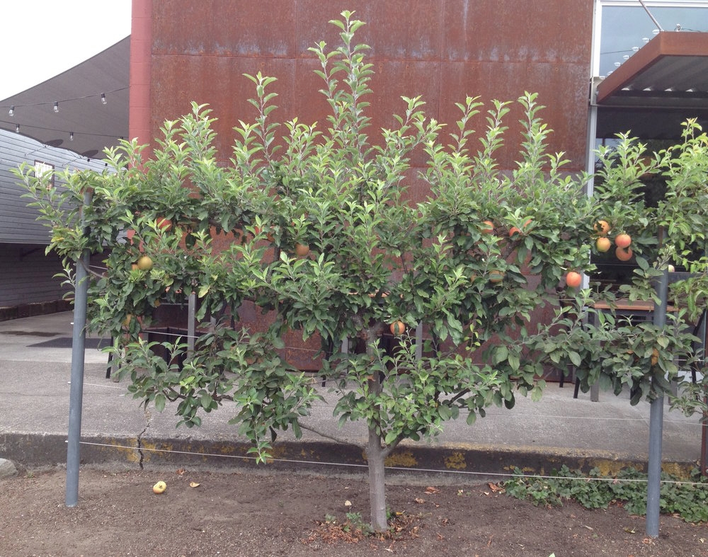 Espalier Apple: Before Pruning