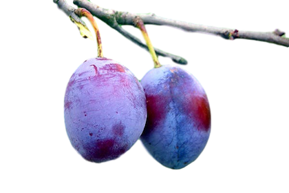 (Fruit from the plum tree of  The Pregnant Sister .)