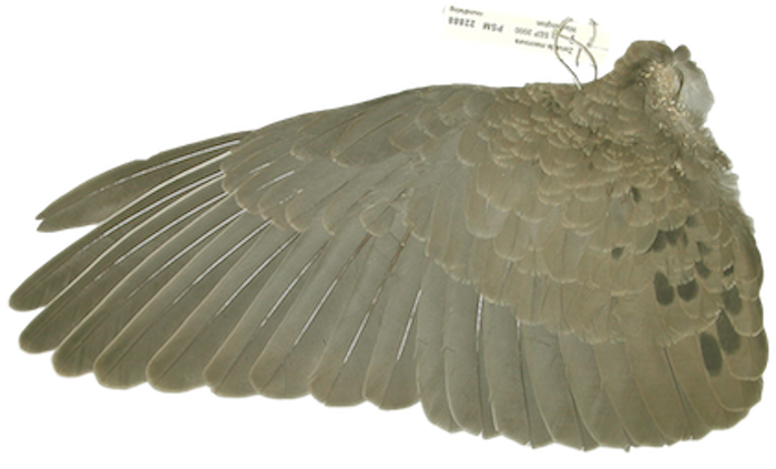(Mourning Dove's wing from the ornithologist's collection in  The Doves of Altadena .)