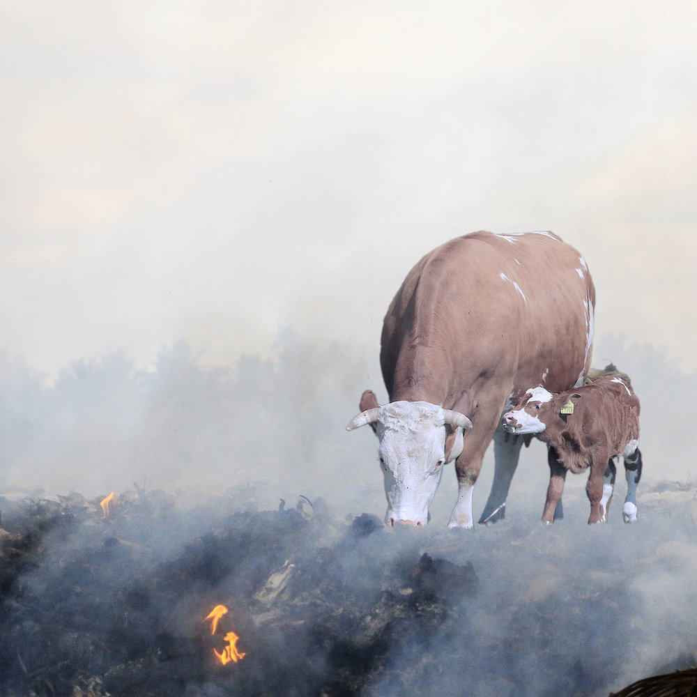 burning ground and cows
