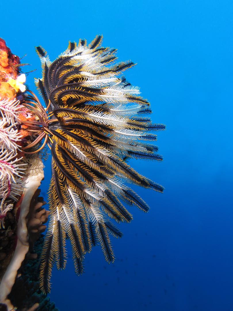 Crinoid_on_the_reef_of_Batu_Moncho_Island.JPG