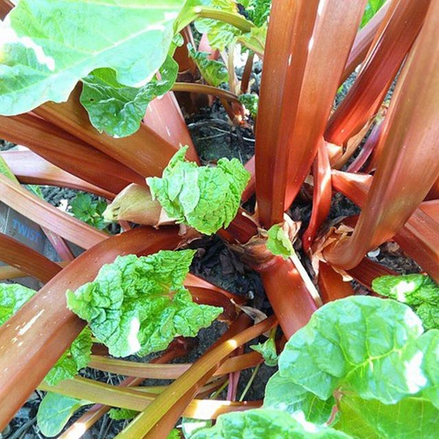 We have so much rhubarb growing in our garden this year. I will be baking lots of crumbles, pies and cakes and my own recipe of Rhubarb and Orange Jam. When I visit Swedish friends at this time of year they always seem to have 'Hemgjord rabarbersaft' (Homemade Rhubarb Juice). #rhubarb #rabarber #rabarbersaft