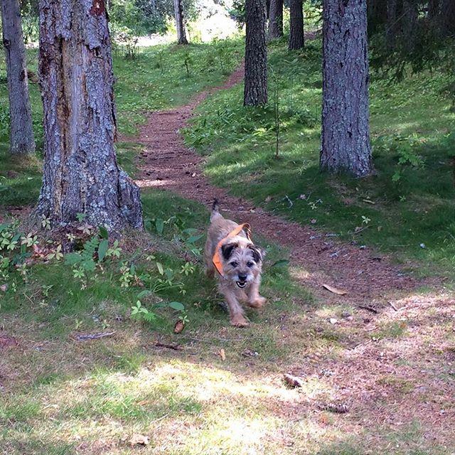 Zak loves walks in the forest in north Sweden 🇸🇪 #borderterrier #sweden
