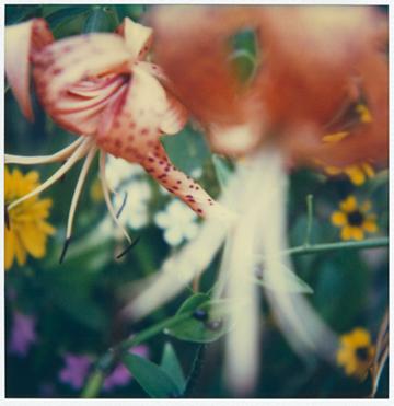 Flower Study #1, SX - 70 Polaroid Print, 2000