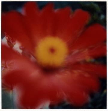 Flower Study #3, SX - 70 Polaroid Print, 2001