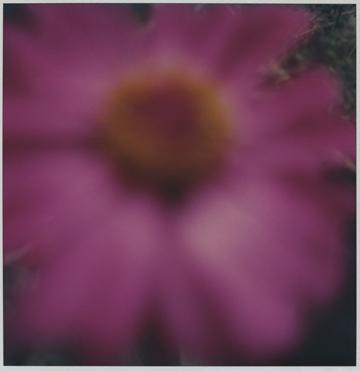 Flower Study #2, SX - 70 Polaroid Print, 2000