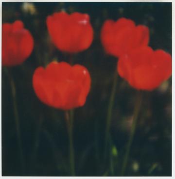 Flower Study #1, SX - 70 Polaroid Print, 2001