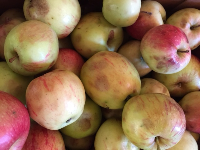GOOD APPLES: very mild bruising, no worm infestation, no broken skin…..fit for juicing!