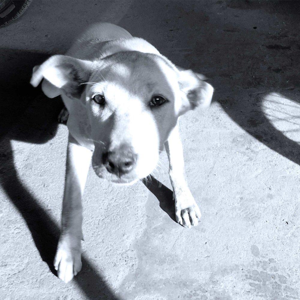 vietnam-dog-closeup.jpg