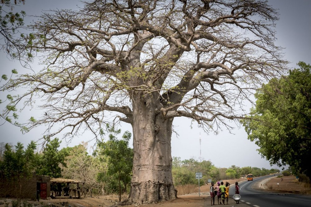 The magnificent baobab trees of Burkina Faso