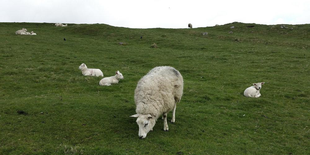 Housteads Roman Fort Sheep.jpg