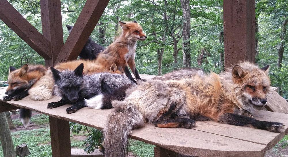Zao-Fox-Village-Fox-Pile.jpg