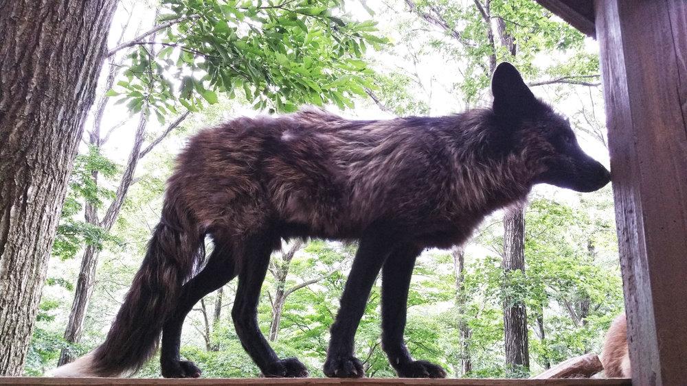 Zao-Fox-Village-Standing-Fox-Profile.jpg