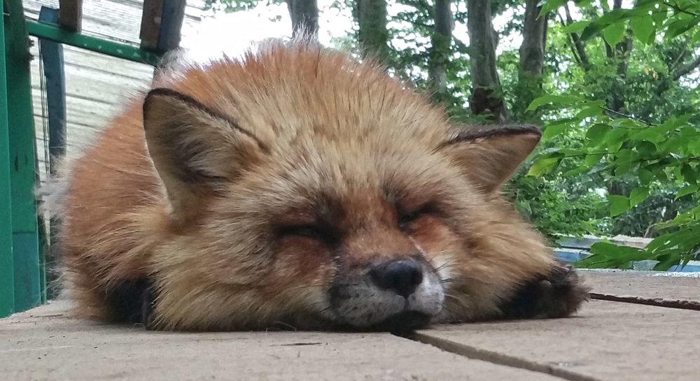Zao-Fox-Village-Squishface.jpg