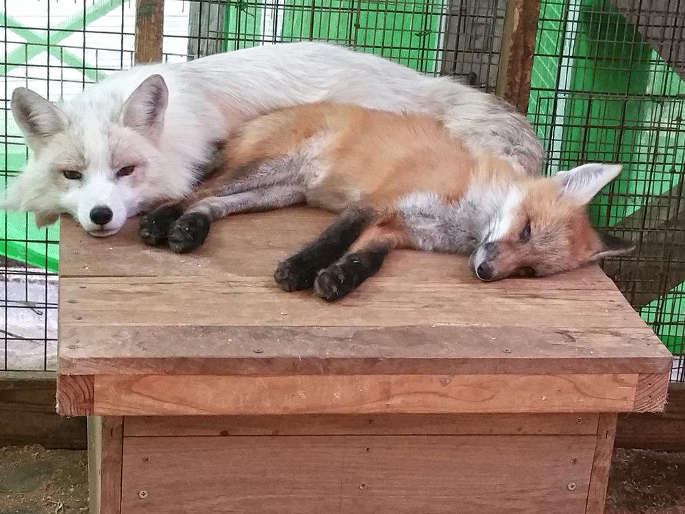 Zao-Fox-Village-Two-Friends.jpg