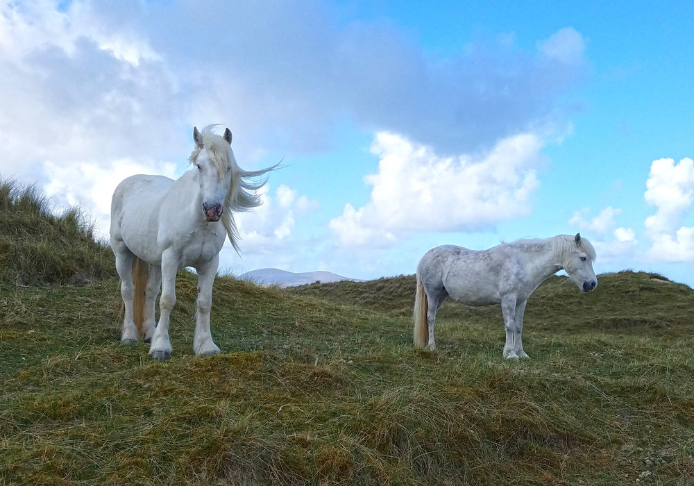 Luskentyre Horses Before Beach.jpg