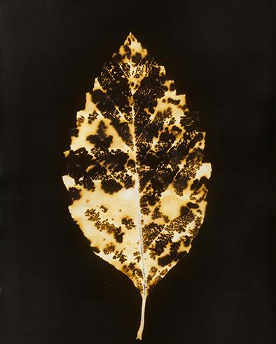 Gilded Leaf web.jpg