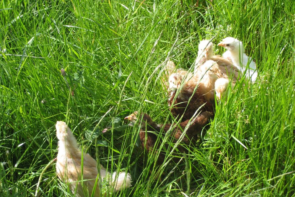 Our first chickens.