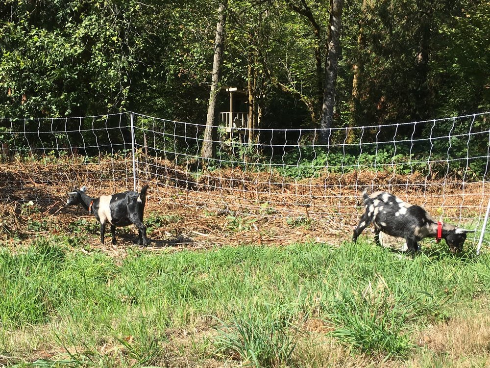 Pasturing goats in areas with lots of blackberry is difficult!